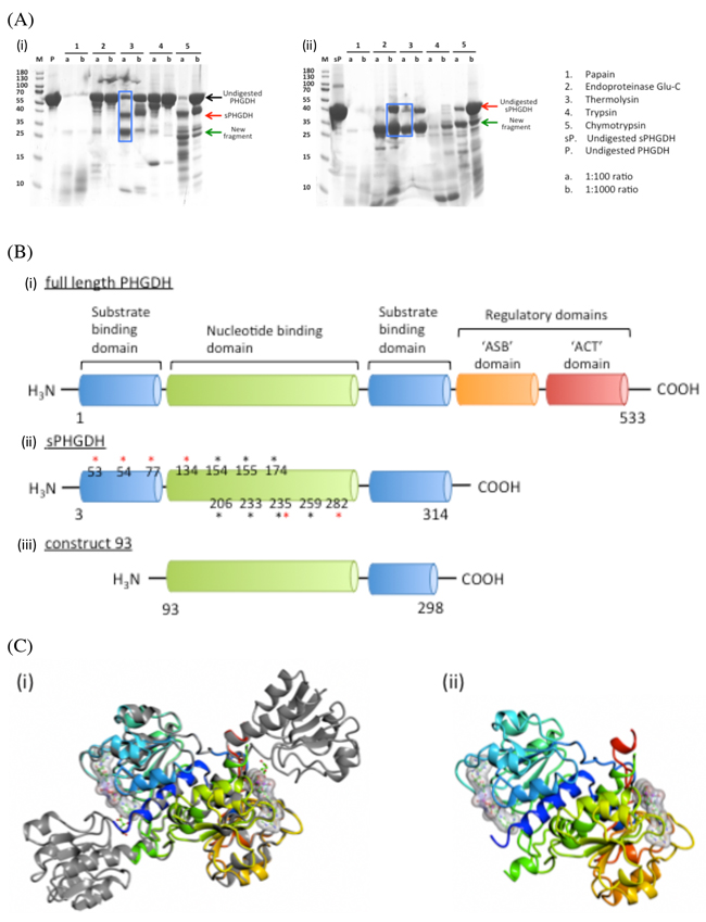 Limited proteolysis and domain composition of PHGDH.