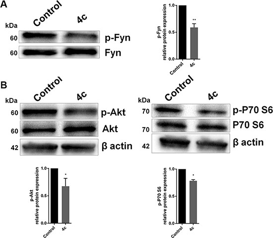 Inhibition on Fyn phosphorylation by 4c compound decreased Akt and P70 phosphorylation.