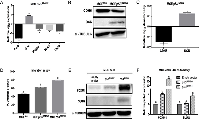 p53R248W reduces CDH6 expression and increases migration in MOE cells.