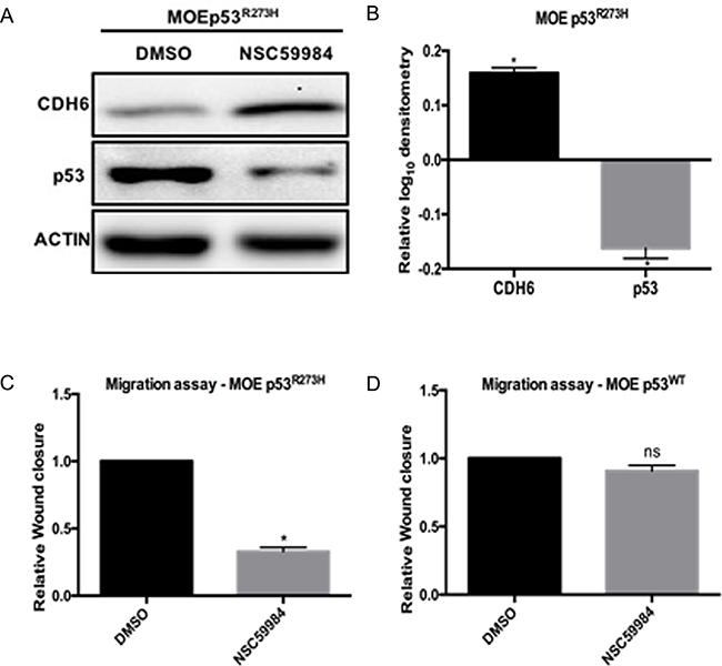 NSC59984 degrades p53R273H, restores CDH6 and inhibits cell migration in MOE cells.