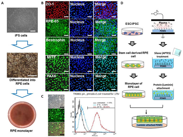 Generation of RPE monolayer from patient-specific iPS cells.