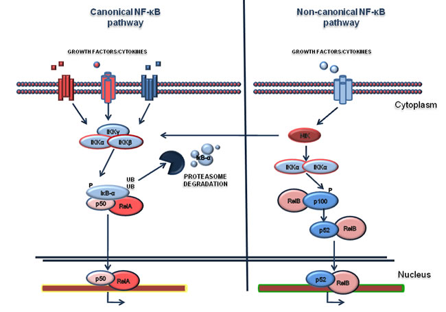 NF-κB pathway.