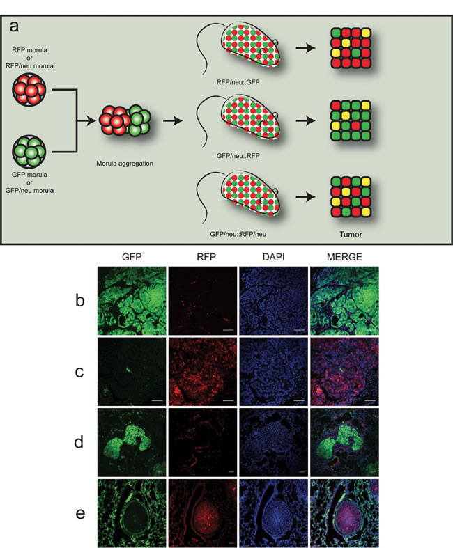Chimeric double-fluorescent model for the study of cell fusion
