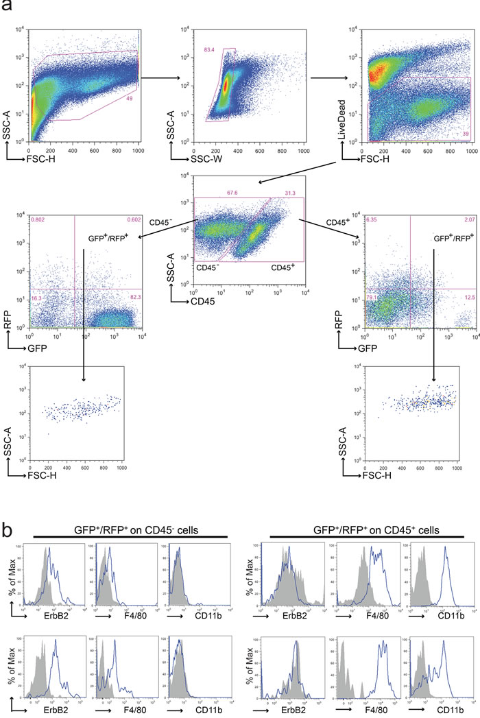 Analysis of cell fusion in double fluorescent animals.