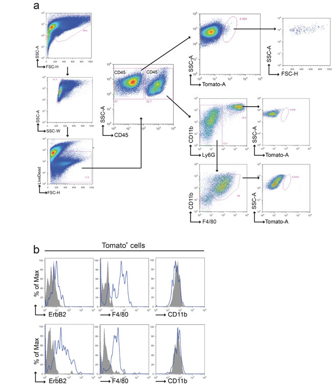Fusion between cancer cells and macrophages in the BMT chimeric model.