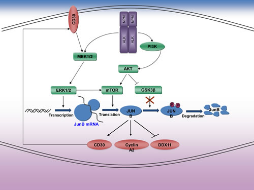 Expression of JunB in ALK+ ALCL.