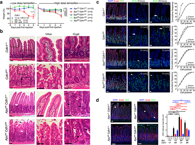 Intestinal phenotype following conditional Cdh1 and Apc homozygous disruption with Vil-CreERT2.