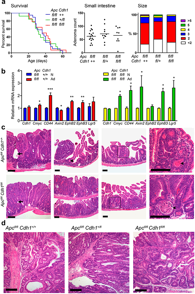 Lgr5CreERT2 induces Apcfl/fl floxed intestinal adenoma without co-floxed Cdh1 alleles.