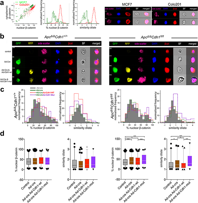 Localization of nuclear β-catenin in ApcΔ/ΔCdh1fl/fl adenoma organoids following complementation with adenovirus expressing wild-type and EC1 domain mutant of Cdh1.