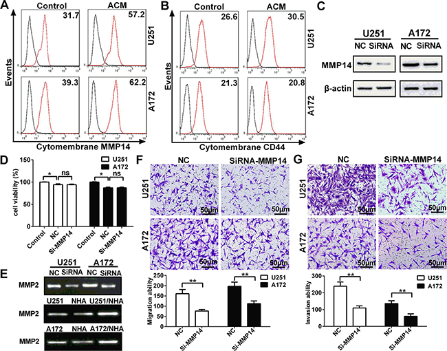 Cytomembrane MMP14 in glioma cell lines is up-regulated by astrocytes in glioma cell lines, and promotes invasion and migration through activation of MMP2 but not cleavage of CD44.