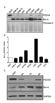 GBM cell lines and tumor initiating cells have low levels of PDCD4 and high levels of Bcl-xL protein.