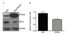 Re-introduction of PDCD4 into GBM causes reduction in Bcl-xL and cell viability.