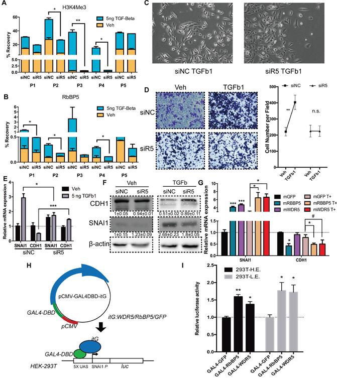 Abrogation of RbBP5 restricted EMT progression via blocking SNAI1 transcription.