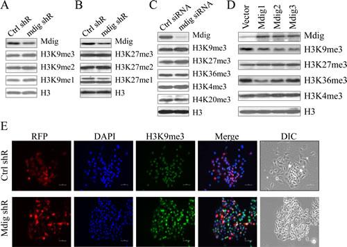 Marginal effect of mdig on total H3K9me3.