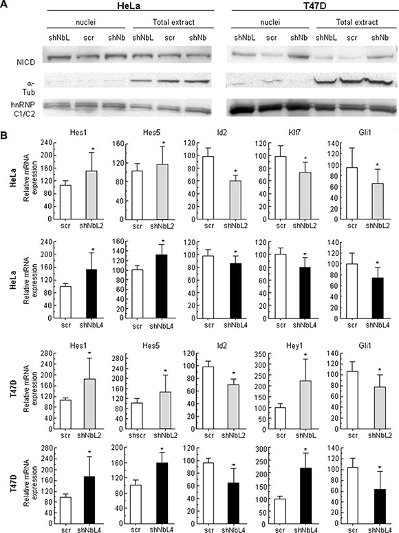 NumbL downregulation activates Notch signaling.
