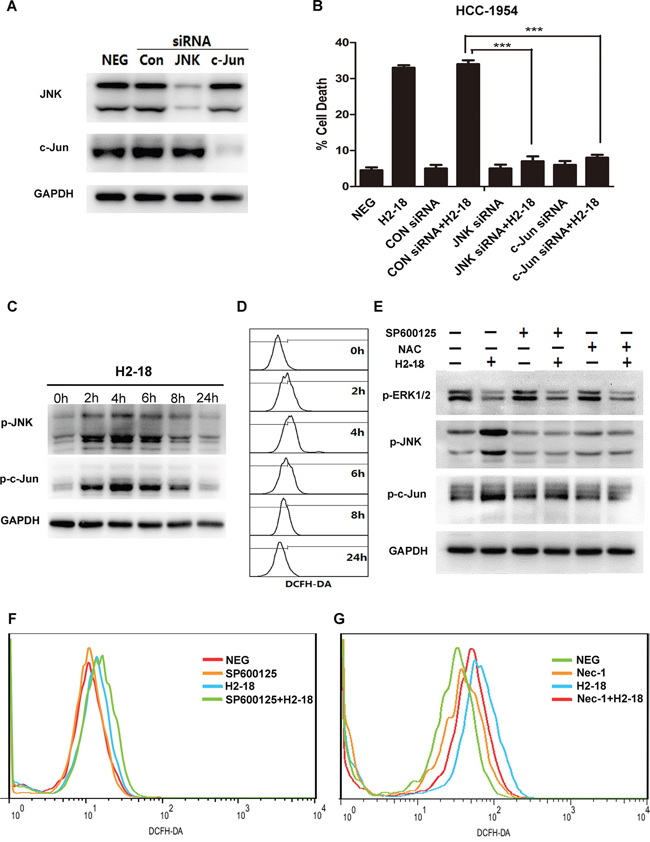 RIP1-ROS-JNK-c-Jun signaling pathway is involved in H2-18-induced programmed cell death.