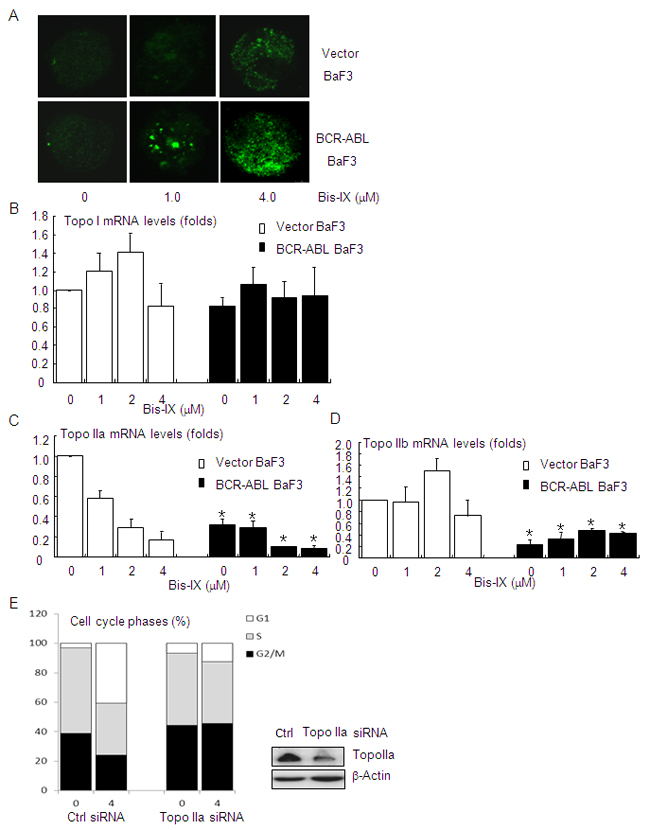 Bisindolylmaleimide IX induced increased DNA damage in BCR-ABL positive cells by suppressing the expression of topoisomerase II.