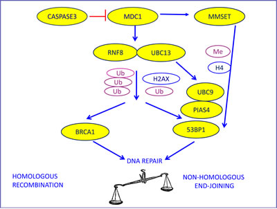 The biological model providing the rationale for our choice of DNA repair components to evaluate as potential predictive markers in advanced NSCLC patients treated with platinum-based chemotherapy.