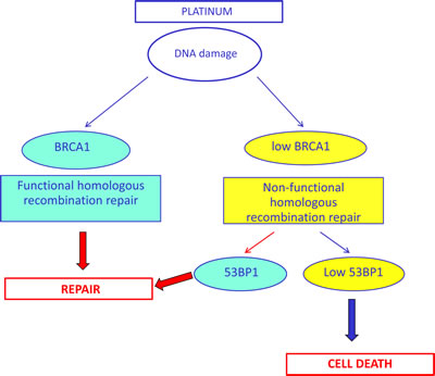 Simplified hypothetical model of the potential interplay between BRCA1 and 53BP1 in DNA damage response, based on our clinical results.