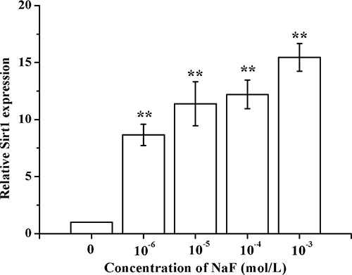 Determination of SIRT1 in osteoblast induced by NaF.