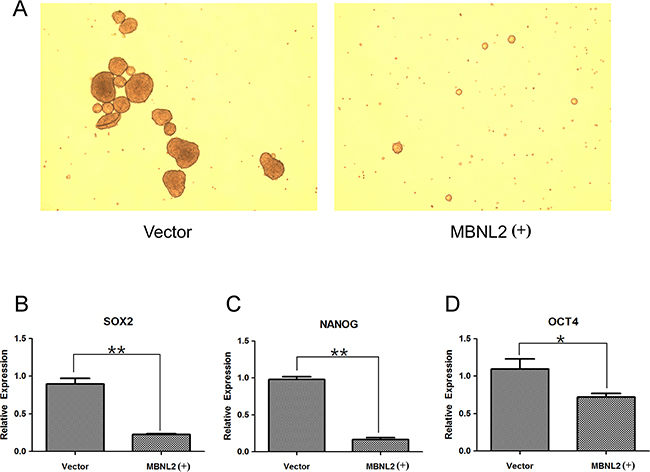 Overexpression of MBNL2 suppressed the formation of tumorspheres and expression of stem cell markers.