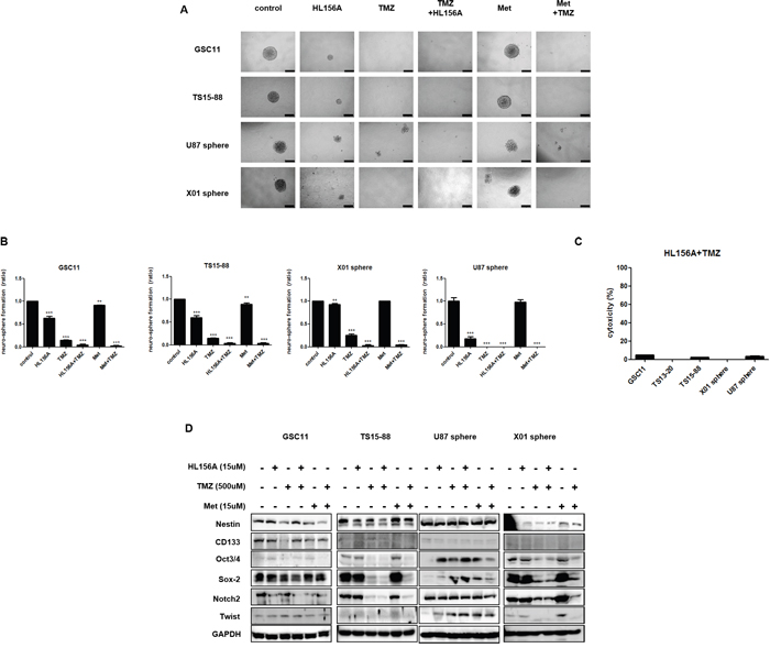 Effects of HL156A, TMZ, and combination treatment on stemness and neuroglial differentiation of GBM-TSs.