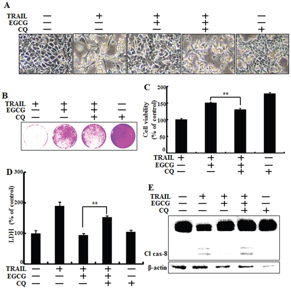 Inhibition of autophagy sensitized tumor cells to TRAIL-induced apoptosis on EGCG treatment.