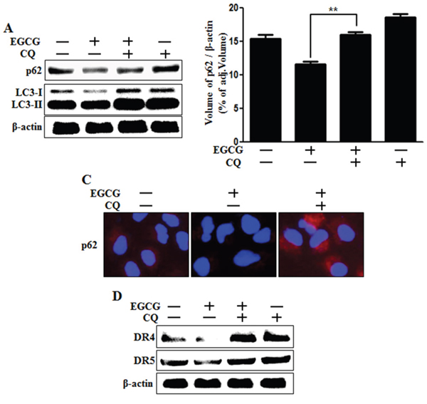Inhibition of autophagic flux blocked the down-regulation of death receptors induced by EGCG treatment.
