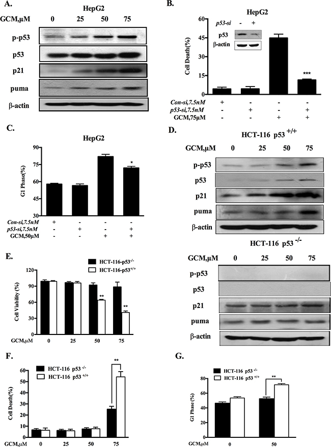 Activation of p53 signaling is responsible for cell cycle arrest and apoptosis in response to GCM.