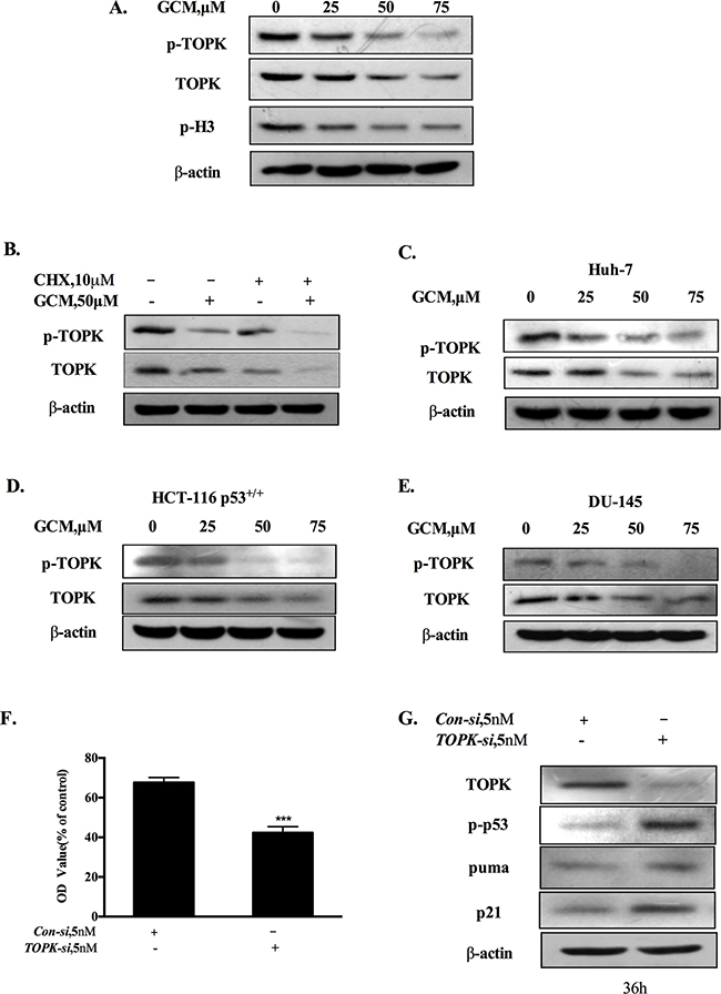 Activation of p53 by GCM is attributed to suppression of TOPK.
