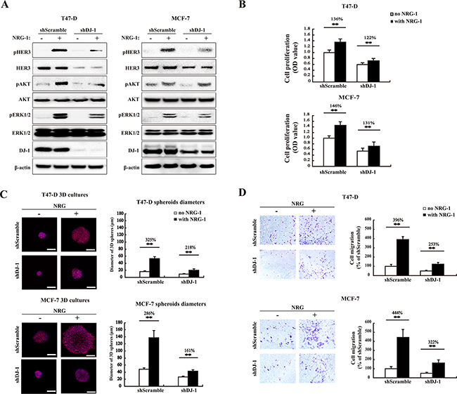 DJ-1 knockdown decreases HER3-mediated signaling, cell proliferation, 3D spheroid growth and migration.