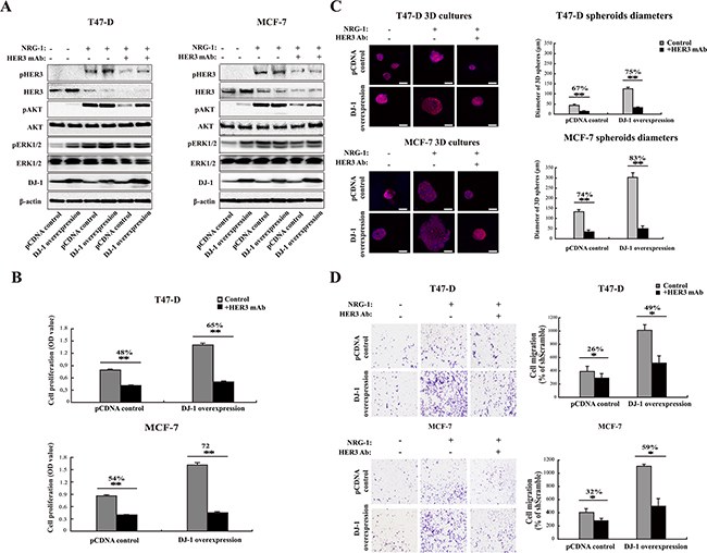 DJ-1 overexpressing cancer cells are more sensitive to anti-HER3 antibody treatment.