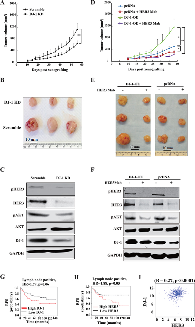 DJ-1 knockdown decreased tumor growth and DJ-1 overexpression increased sensitivity of tumors to anti-HER3 antibody treatment in vivo.