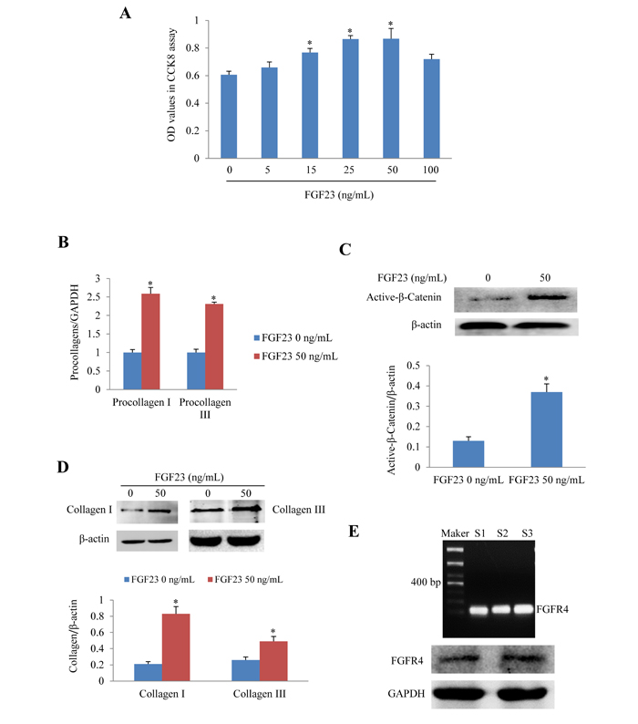 Effects of FGF23 stimulation on cultured adult mouse cardiac fibroblasts (AMCFs).