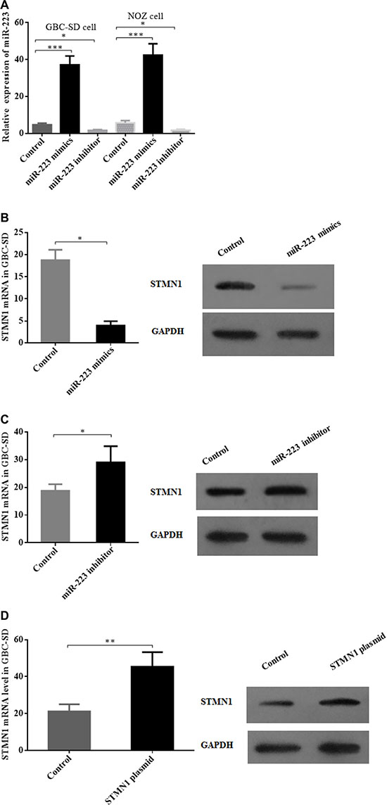 Modulation of miR-223 and STMN1 expression in gallbladder cancer cells by miR-223 mimics, a miR-223 inhibitor and a STMN1 overexpression plasmid.