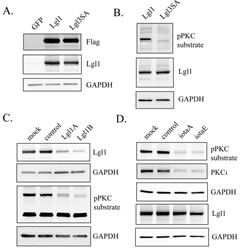 Lgl1 is constitutively phosphorylated by PKCι in PTEN-null U87MG cells.