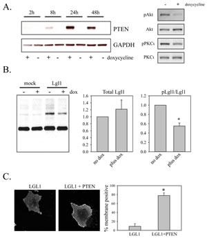 Restoration of PTEN expression reduces Lgl phosphorylation and promotes its membrane association.