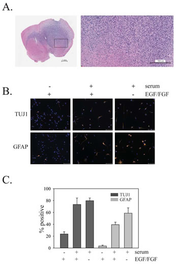 In vivo growth of PriGO8A cells and differentiation of PriGO8A cells in response to serum and/or growth factor withdrawal.