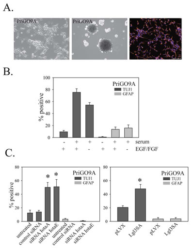 Effects of PKC and Lgl3SA on PriGO9A cell differentiation.