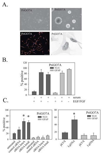 Effects of PKC and Lgl1 on PriGO7A differentiation.