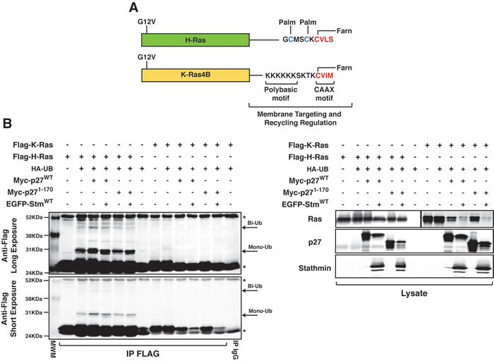 Oncotarget | p27 kip1 expression limits H-Ras-driven