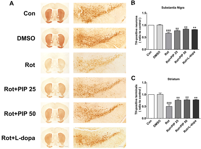 PIP reverses the reduction in TH-positive neurons induced by rotenone.