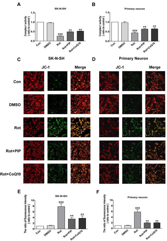 PIP reverses the decreases in mitochondrial complex I activity and MMP induced by rotenone.