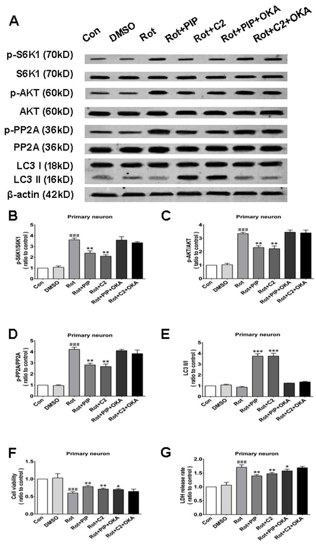 OKA reverses PIP-induced autophagy and increase in cell viability
