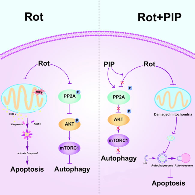 PIP exerts neuroprotective effects against rotenone-induced injury by activating PP2A and restoring the balance between autophagy and apoptosis.