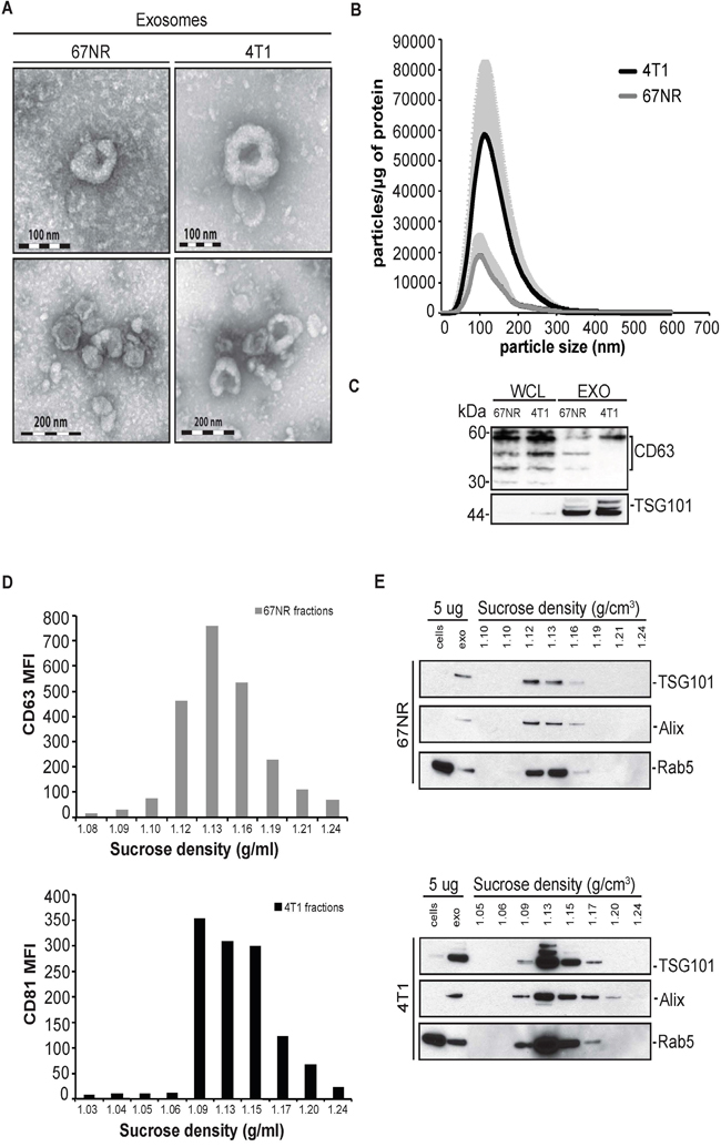 Characterization of extracellular vesicles secreted from non-metastatic mouse breast cancer cell line 67NR and metastatic mouse breast cancer cell line 4T1.