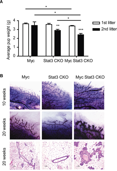 Physiological effect of STAT3 loss on mammary function.