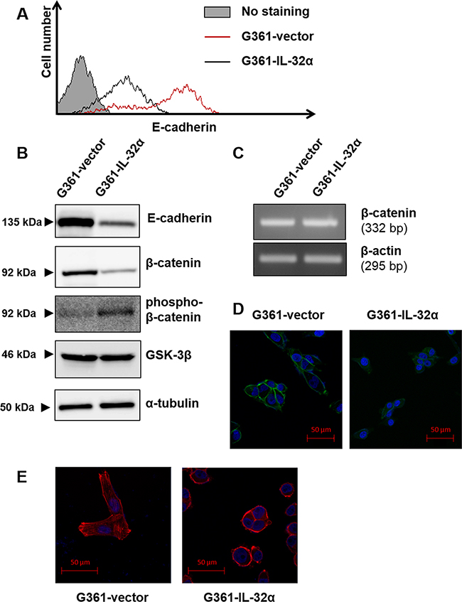 IL-32α overexpression downregulates E-cadherin expression and induces F-actin polymerization.