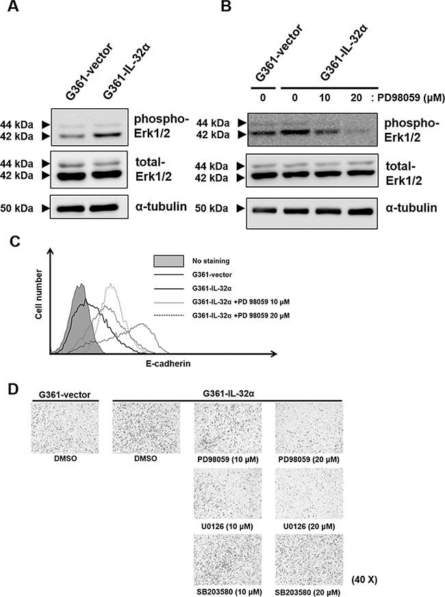 Inhibition of IL-32α-induced Erk1/2 reduces human melanoma cell migration.