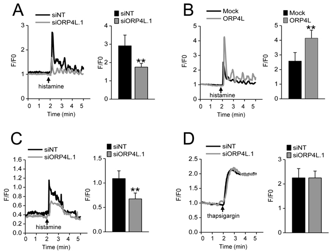 ORP4L maintains intracellular calcium homeostasis.